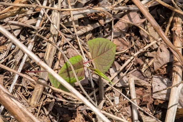 Japenese Knotweed dead stems